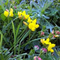 Birds' Foot Trefoil