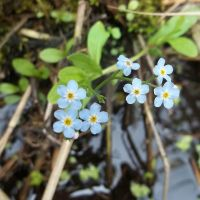 Water Forget me nots