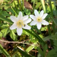 Wood Anemonae