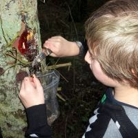 collecting pine resin