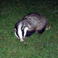 Badger2
