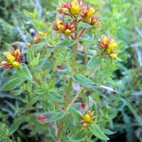 Perforate St Johns'wort